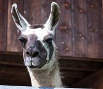 llama happy